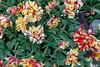 "Keukenhof Gardens; ""Double Flaming Parrot"" tulip"