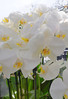 Keukenhof Gardens; white orchids on a rainy day