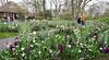 Keukenhof Gardens; daffodils and hyacinths