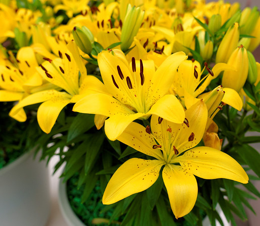 Keukenhof Gardens; yellow lilies