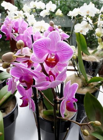 Keukenhof Gardens; purple orchids on a rainy day