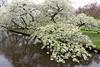 Keukenhof Gardens; blossoms in the water