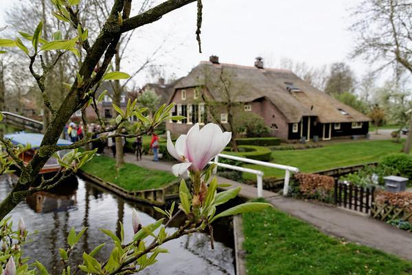 Giethoorn; magnolia-like blossom