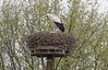 Amsterdam; stork and chick on their nest of many years.