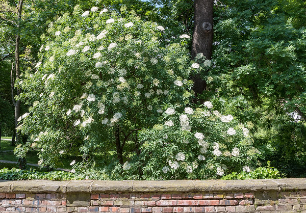 "Ribnjak Park - Elderberry (""Sambucus ebulus"")"