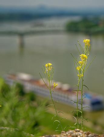 Ezstergom - wildflower and the Danube