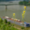 Ezstergom - wildflower and the Danube