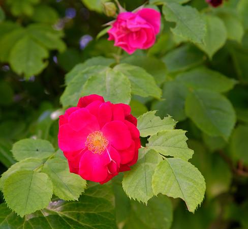Visegrád Hungary - rose