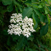 "Esztergom - ""Sambucus ebulus,"" elderberry"
