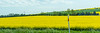 DAY 4:  Trip to Jablonec - fields of Canola