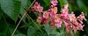 Cesky Krumlov - Chestnut tree flowers