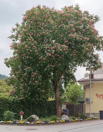 Berchtesgaden, Germany - pink chestnut