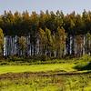 outside Santiago de Compostela Spain - eucalyptus tree farm