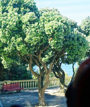 "Porto Portugal - red flowering gum, ""Corymbia ficifolia"", I think!"