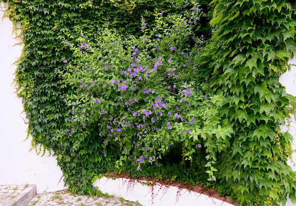 Obidos Portugal - Blue Potato Bush/Vine (Solanum rantonnetii)