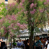 Barcelona Catalonia Spain – Salt Cedar in bloom, La Rambla near the beach