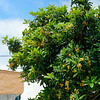 Nazaré Portugal - large loquat tree, loaded with delicious ripe fruit