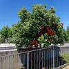 Santander Cantabria Spain - Flowering sweet gum tree