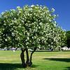 Lisbon Portugal - Oleander bush trimmed as a tree