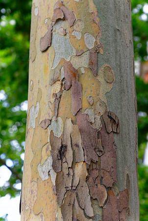 Barcelona Catalonia Spain – Sycamore bark