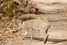 Young warthog, Ranthambore