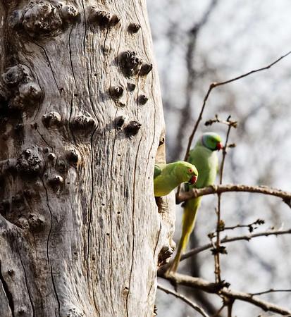 Green Parrots in tree, Ranthambore