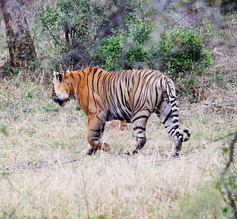 Tiger! part 2, Ranthambore