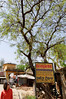 Neem tree, Neemrana, on the road to Jaipur