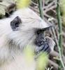Gray langur monkey, Ranthambore