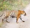 Tiger!, Ranthambore