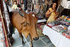 The sacred cow visits the mall, Jaipur
