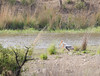 Storks, Ranthambore