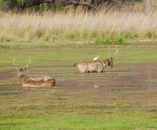 Sambar deer and egret, Ranthambore