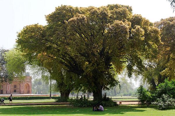 Fig trees, Humayun's Tomb, Delhi