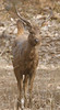 Male Sambar deer, Ranthambore