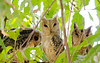 3 owls looking, Sawai Madhopur Lodge, Ranthambore