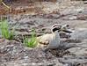 Duck, Ranthambore