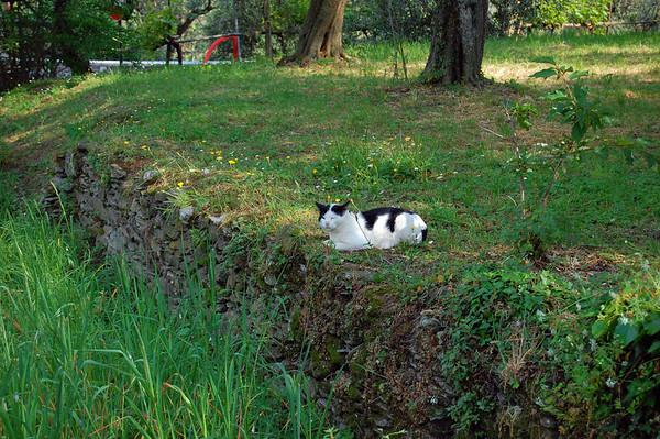 Italian cat San Salvatore di Cogorno, Italy