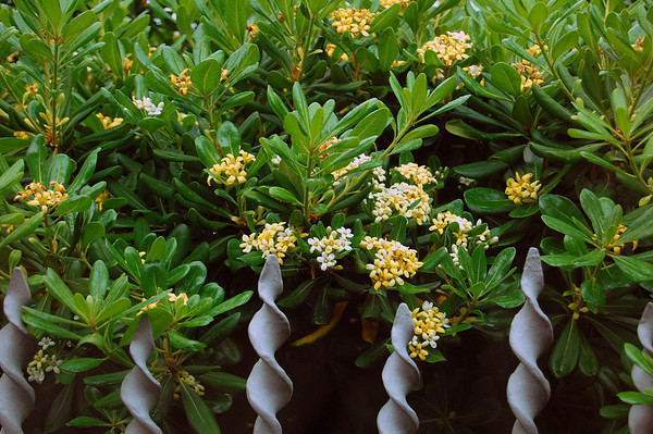 """The fragrant and ubiquitous """"Pittosporum tobira"""" or Japanese mockorange.  This is the tree and bush we found everywhere in Italy. It will grow easily in Texas. Rated for zone 8-10, salt/drought tolerant, medium to fast grower from either cuttings or seeds. Rapallo, Italy"""