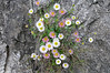 flowers growing out of rocks, common in this area, Varenna