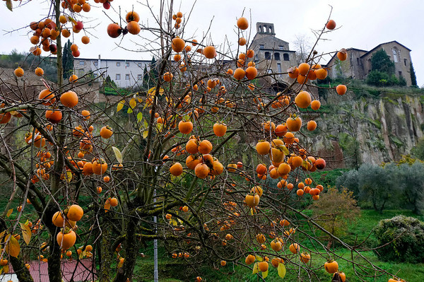 Persimmon tree and the walls of Orvieto