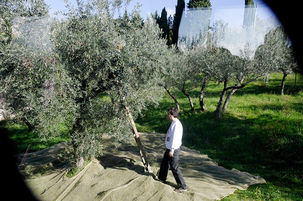Assisi, Italy, olive harvesting