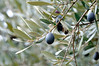 and some of its olives_DSC8585
