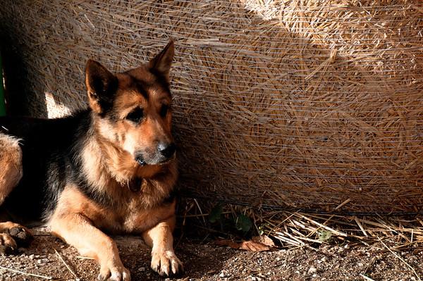German shepherd and hay bale_DSC8726