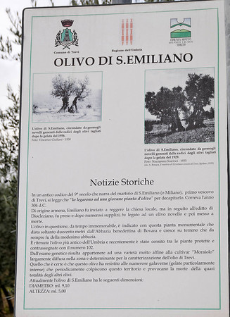 1700 year old olive tree near Bovara_DSC8582