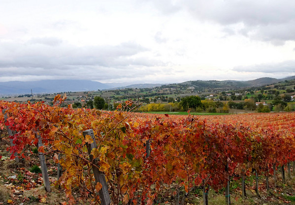 grape vines at the Dionigi winery near Bevagna_DSC8641
