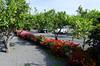Parking among the lemon trees, Feudogrande Agriturismo, Feudogrande, Sicily