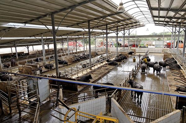 Large feedlot and milking stations, Tenuta Vannulo, organic milk farm near Paestum