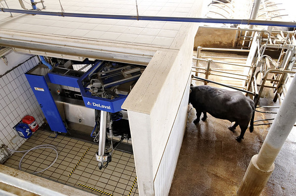 Cows enter automated milking stations volutarily, are chipped so milk is tracked, Tenuta Vannulo, organic milk farm near Paestum