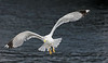 Gull coming in for landing, ferry in Naples harbor